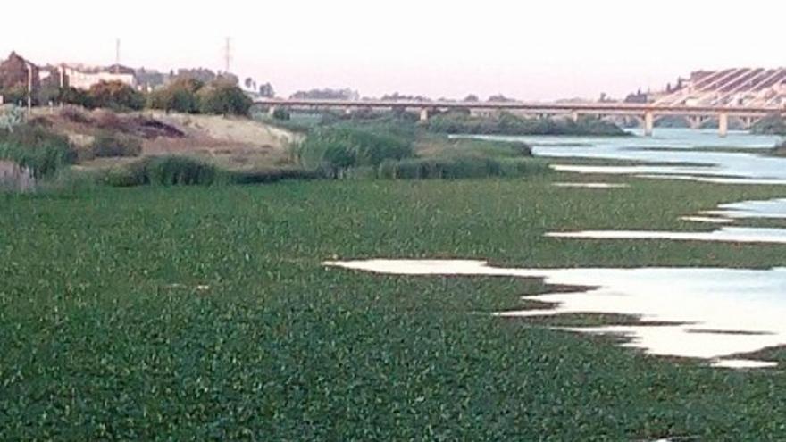 Nenúfar Mexicano en el Guadiana, Badajoz