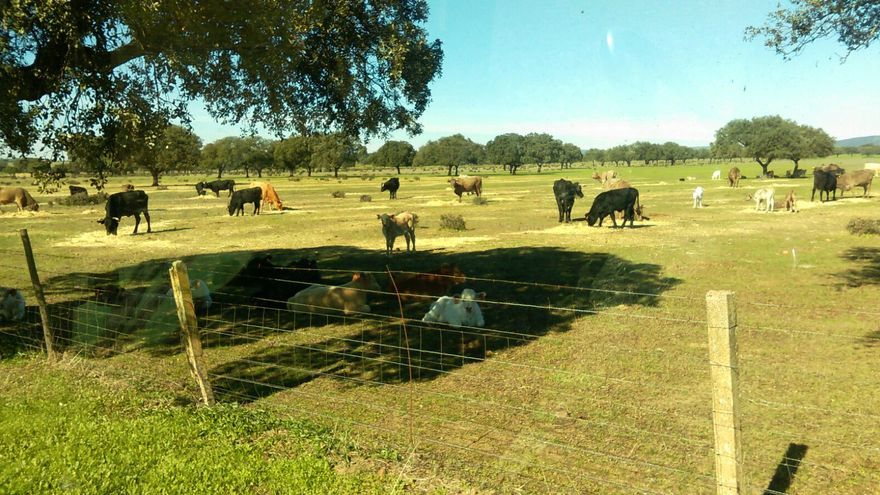 El ganado pasta en la dehesa de la Nava de Santiago (Badajoz) / Anabel Vizcaíno