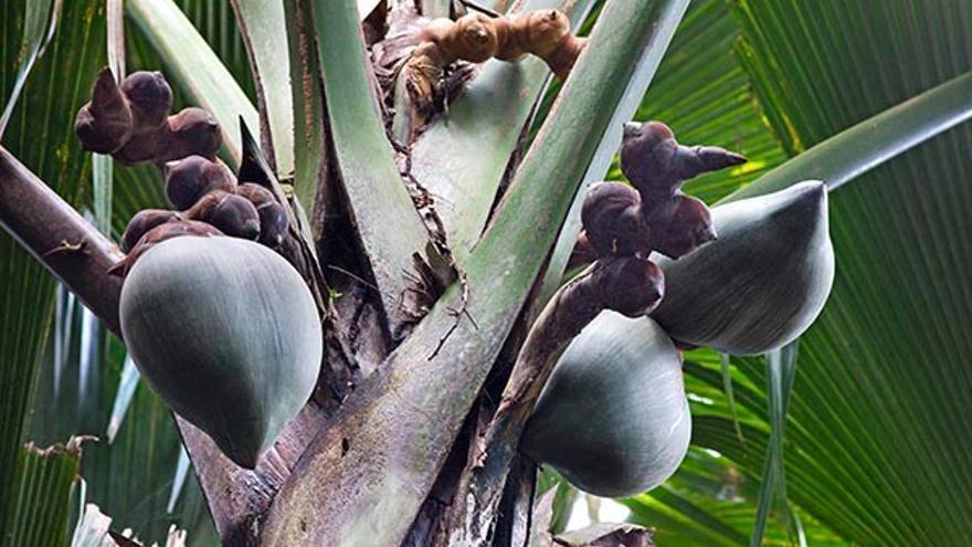 Frutos de la 'Lodoicea maldívica'