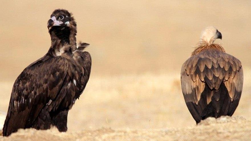 El Parque de Cabañeros logra la mejor cría de buitre negro en tres décadas