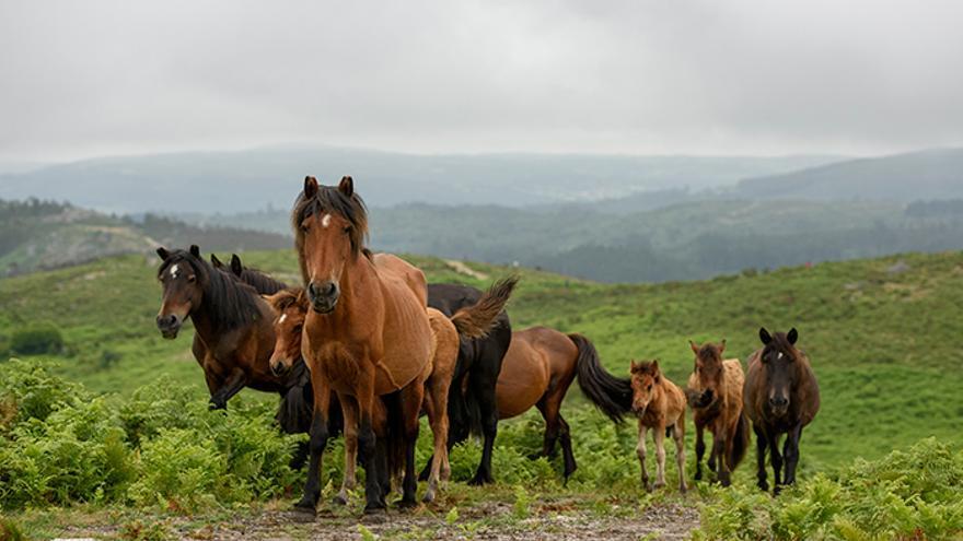 Los caballos son localizados y cercados hasta su acorralamiento. Foto: El caballo de Nietzsche