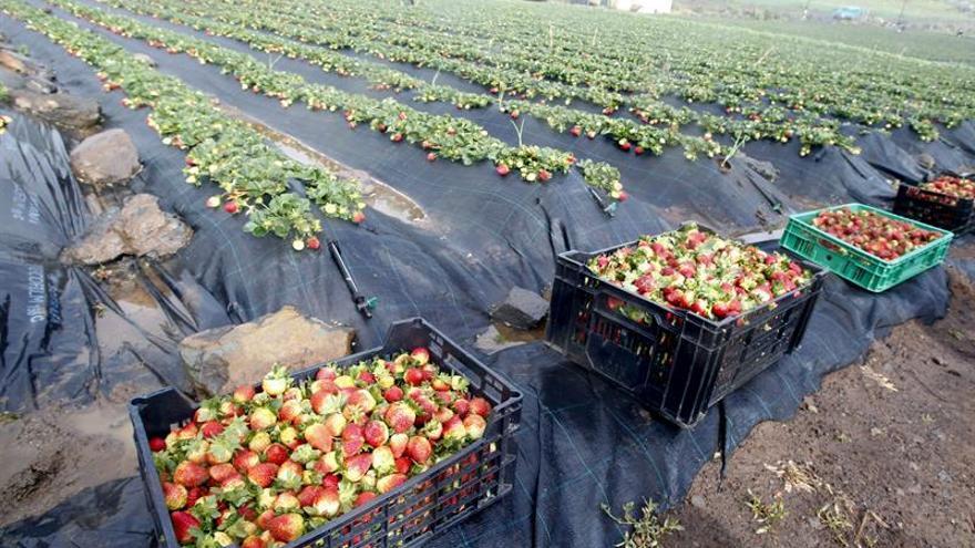 Fresas en la finca La Palma en Valsequillo