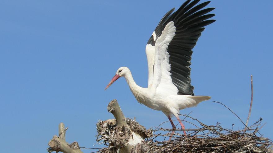 Un cigueña blanca en su nido