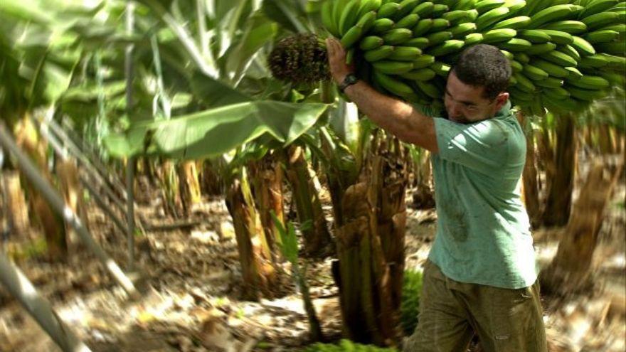 """El sector platanero reitera al ministro de Agricultura la necesidad de """"conocer el plan para garantizar la competitividad del plátano"""""""