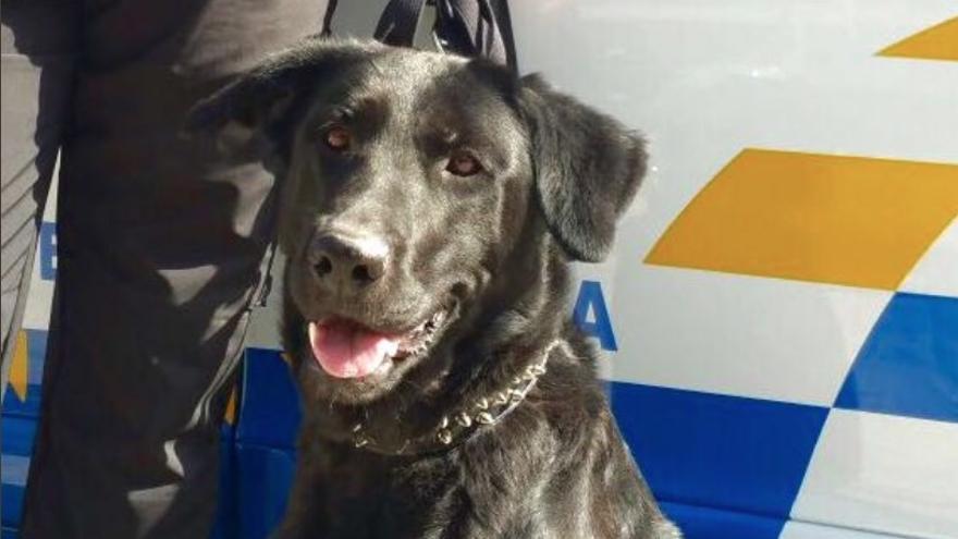 La Policía Local de la capital grancanaria busca un nombre a su nueva compañera canina adoptada.