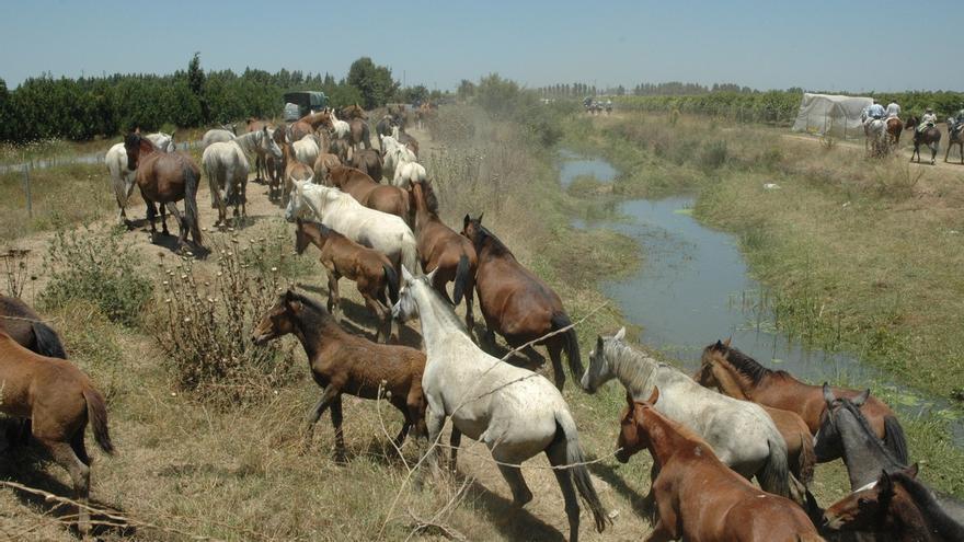 Ganaderos marismeños suspenderán la Saca de las Yeguas si el ganado que pasta en Hinojos no se reubica