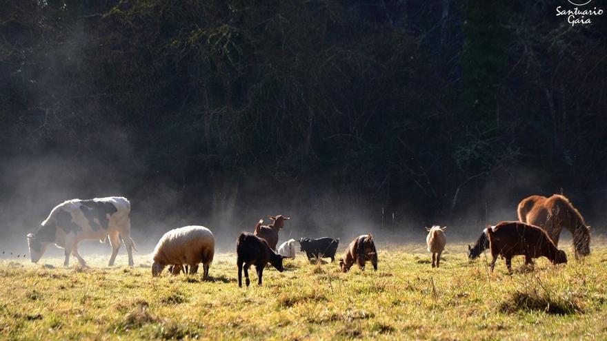 Animales liberados de la explotación viven una segunda oportunidad en los santuarios. Foto: Santuario Gaia
