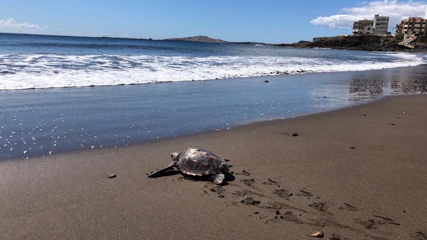 La tortuga fue devuelta al mar en la playa de Melenara.