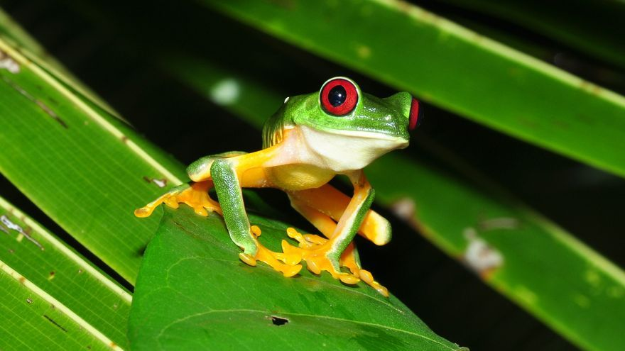 Ranita de ojos rojos, símbolo natural de Costa Rica. Pavel Kirilov