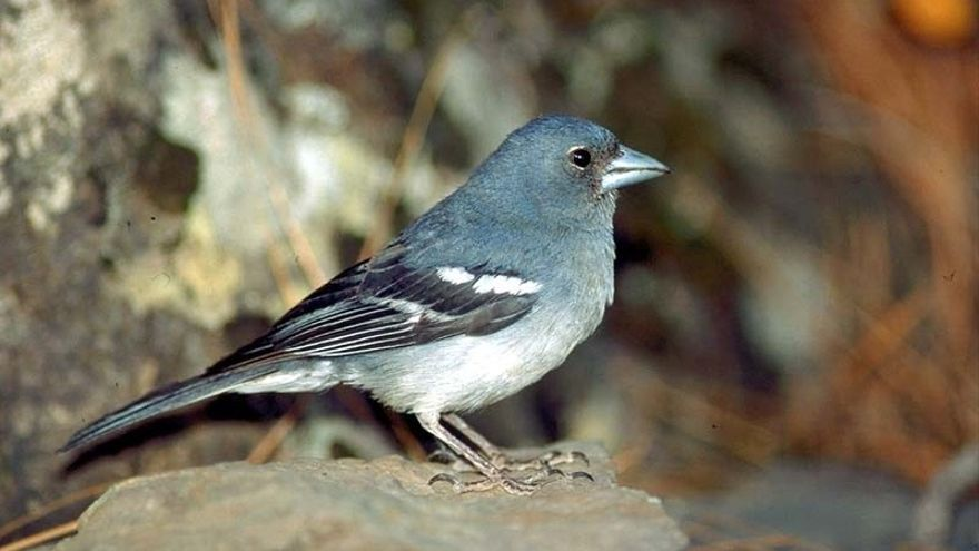 Pinzón azul, especie en peligro de extinción en Gran Canaria.