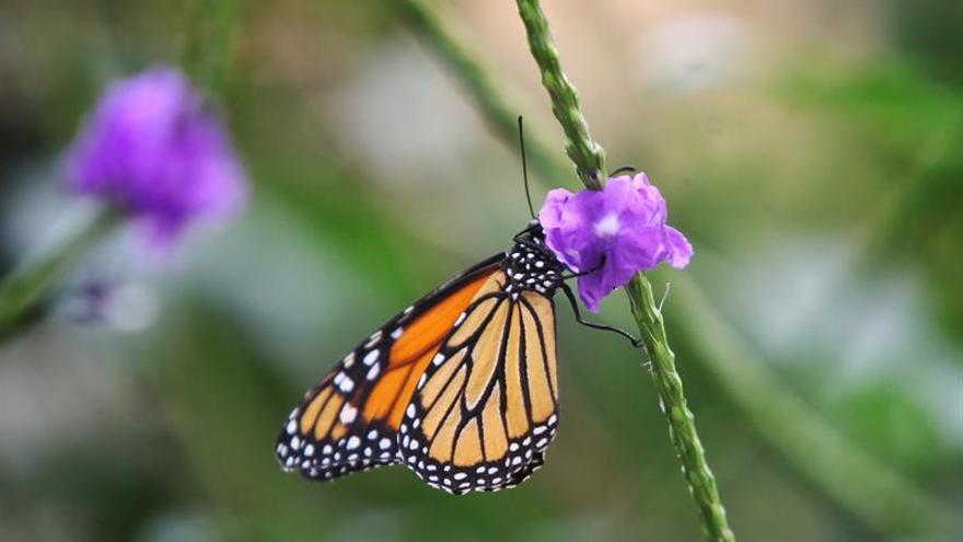 Científicos avanzan en el conocimiento sobre la coloración de las mariposas