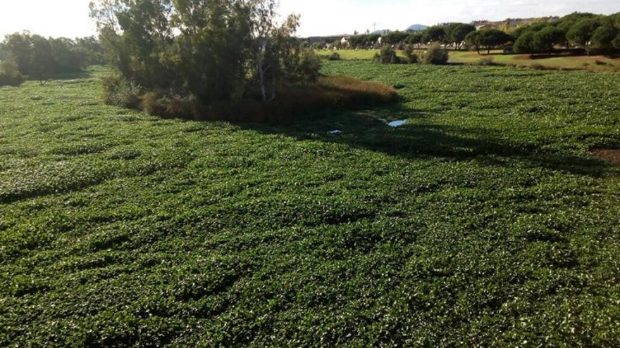 Imagen del camalote en el río Guadiana a su paso por Mérida