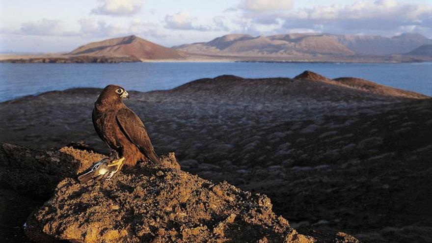 Un halcón de Eleonora otea el horizonte desde el islote de Montaña Clara, en el Parque Natural del Archipiélago Chinijo (Canarias). EFE/J. Palmero