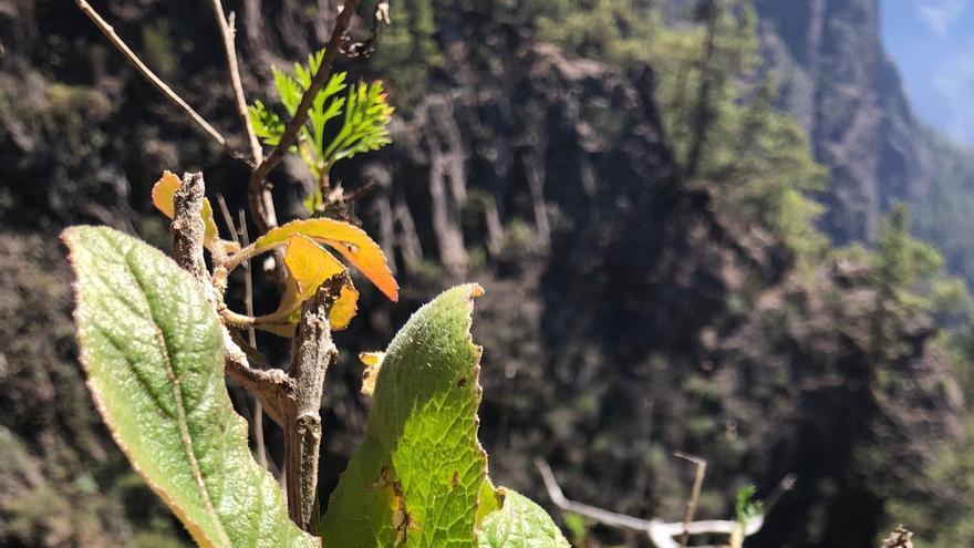 Nueva especie vegetal descubierta en La Caldera.