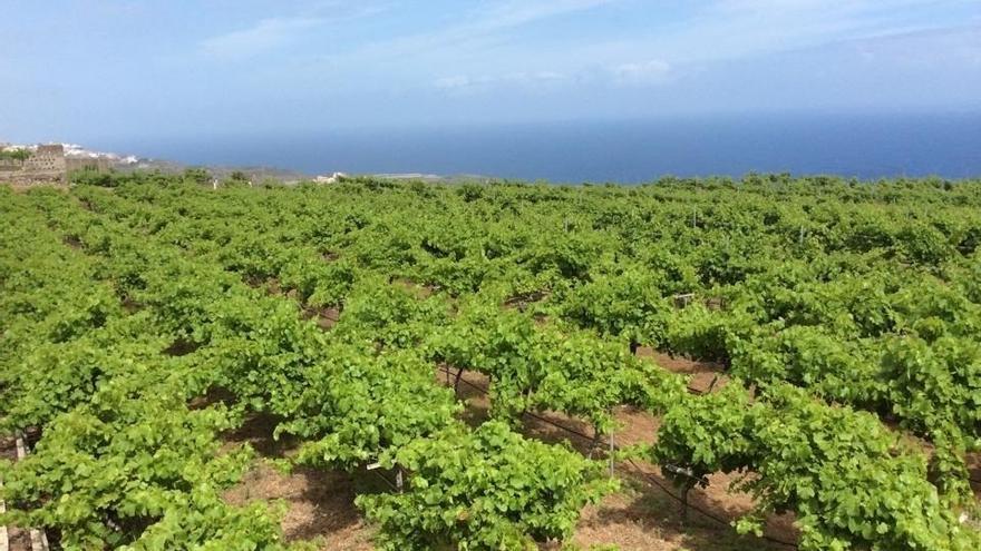 Finca de viñedos en Canarias, en una imagen de archivo