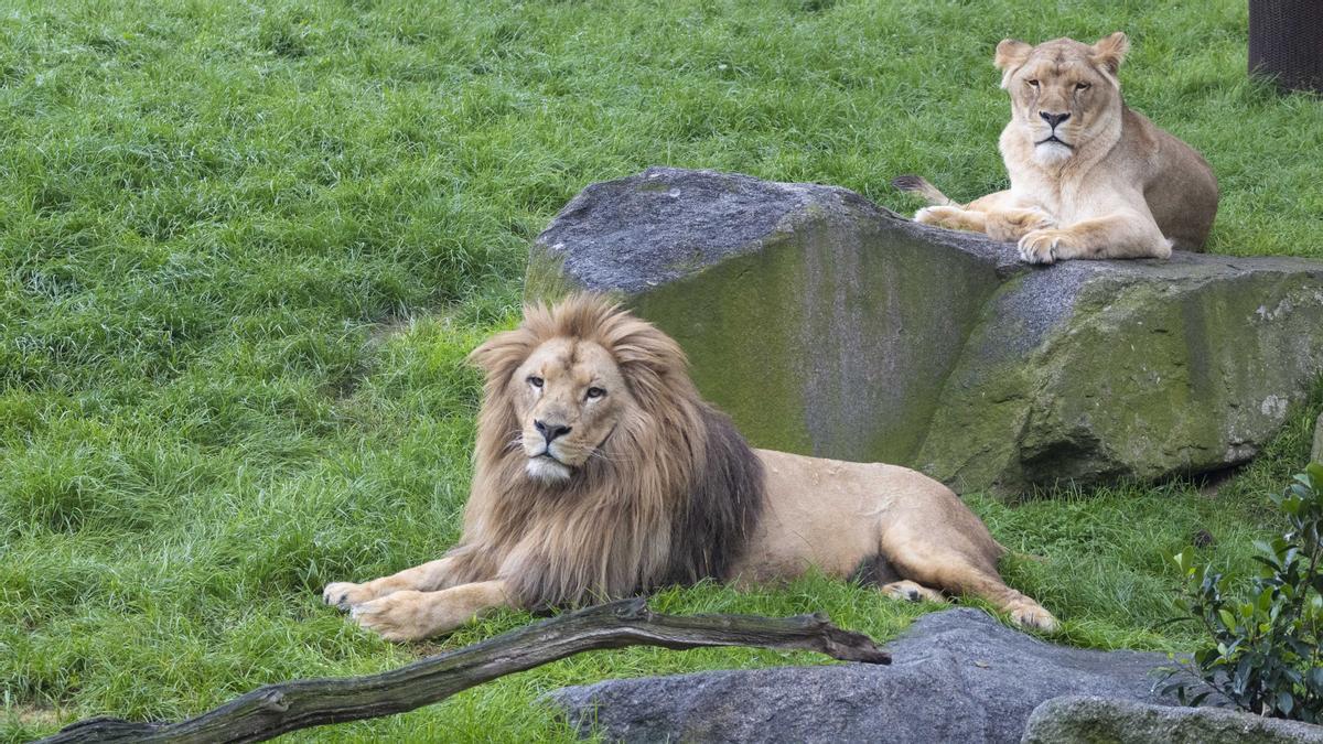 El león Lubango cumple 5 años