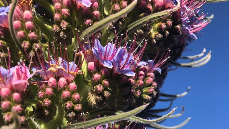 Flores del tajinaste rosado situado al borde de la carretera al Roque de Los Muchachos, antes de llegar al Monumento al Infinito, que, esta primavera, ha sido de los primeros en florecer en las cumbres de La Palma.