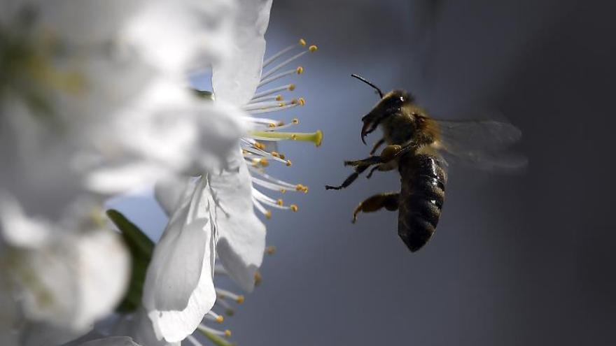 Los pesticidas ponen en peligro a las abejas, las polinizadoras predominantes