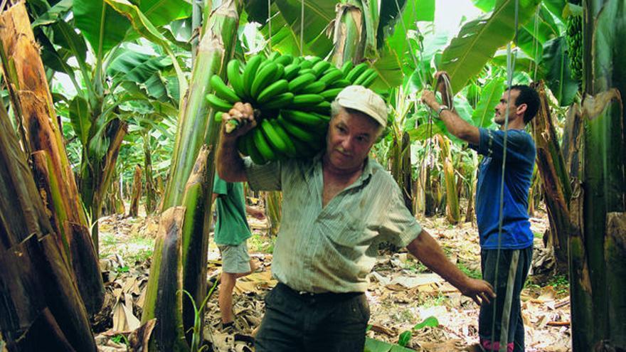 Corte de fruta en un finca de plátano, en Canarias