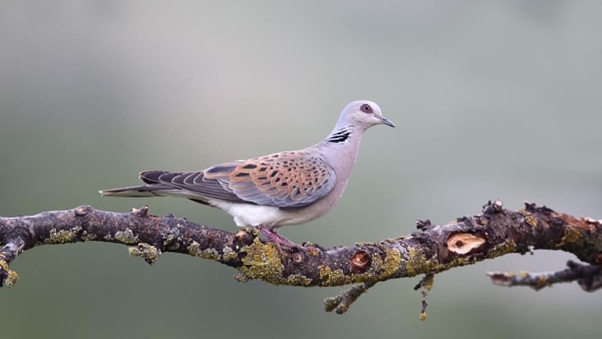 Una tórtola europea /Seo-birdlife.