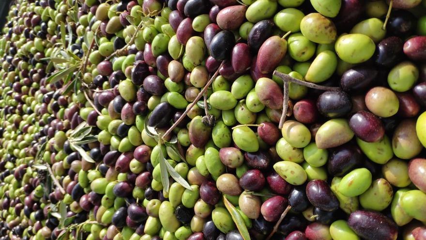 Aceituna, oliva, cosecha, aceite.
