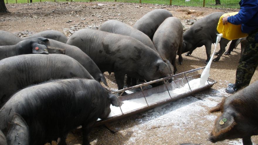 Iberaice confía en que Agricultura presente una norma del ibérico apropiada para todo el sector