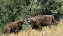Responsable de los bisontes asegura que estaban alimentados pero enfermaron