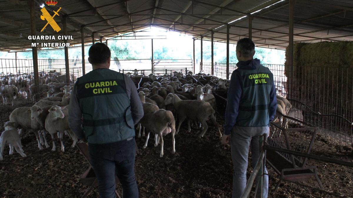Dos agentes en una ganadería de Los Pedroches