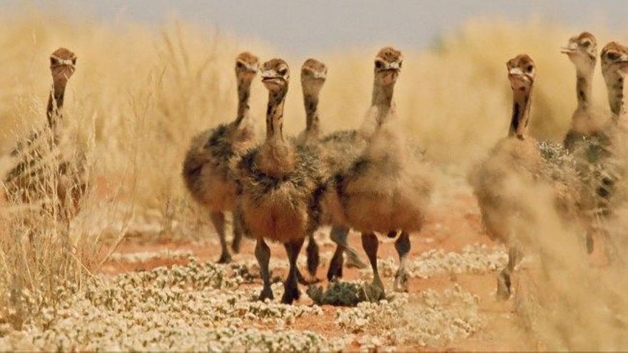 Polluelos de avestruz cruzando las llanuras de Etosha (Kalahari). Fotograma de la serie de la BBC 'Africa' (2013).