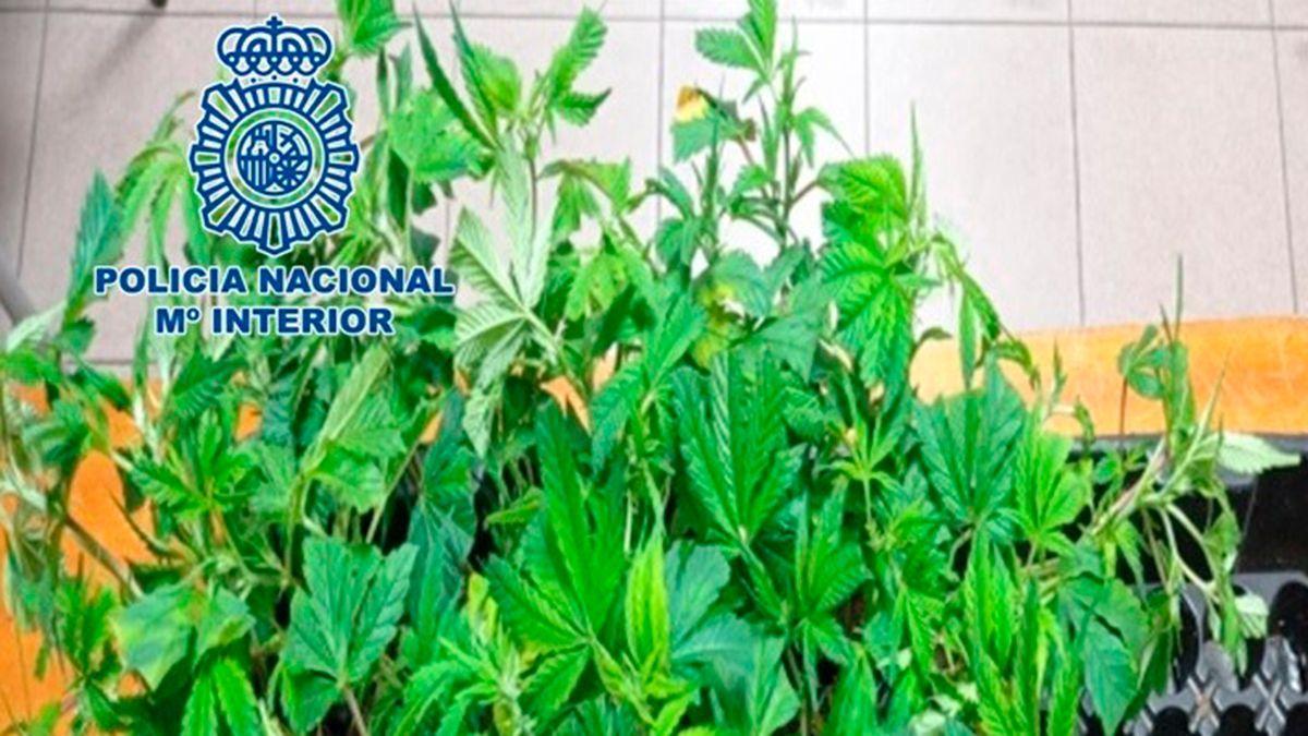 Plantas de marihuana incautadas por la Policía Nacional.