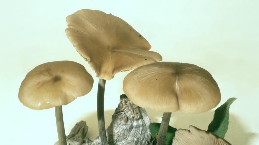 Entoloma rosemariae.