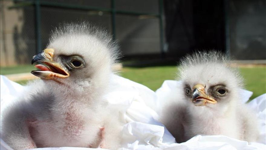 El águila perdicera, una gran rapaz ibérica que no remonta el vuelo