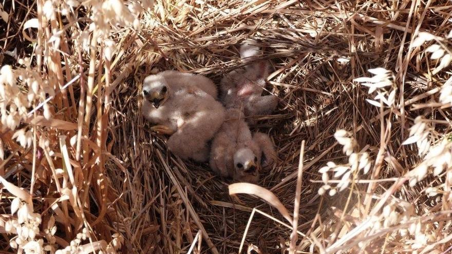 El programa de conservación de aguilucho en campos de cereal lleva localizados esta temporada 33 nidos