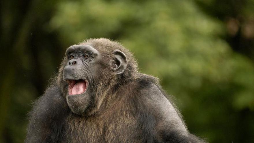 El patrullaje de chimpancés aumenta el grupo a pesar del riesgo de agresión