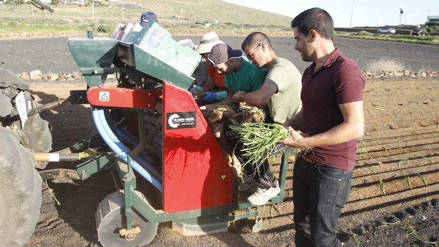 Maquinara para plantar el cebollino.