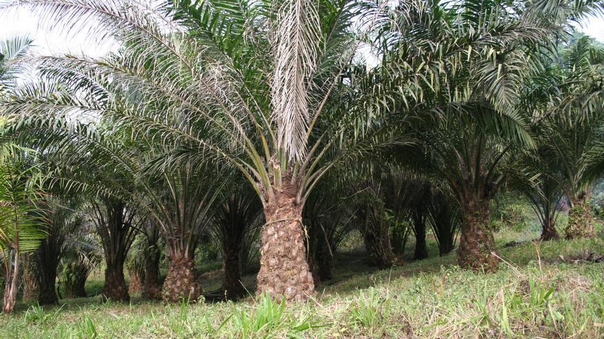 Plantación de palma africana o aceitera.