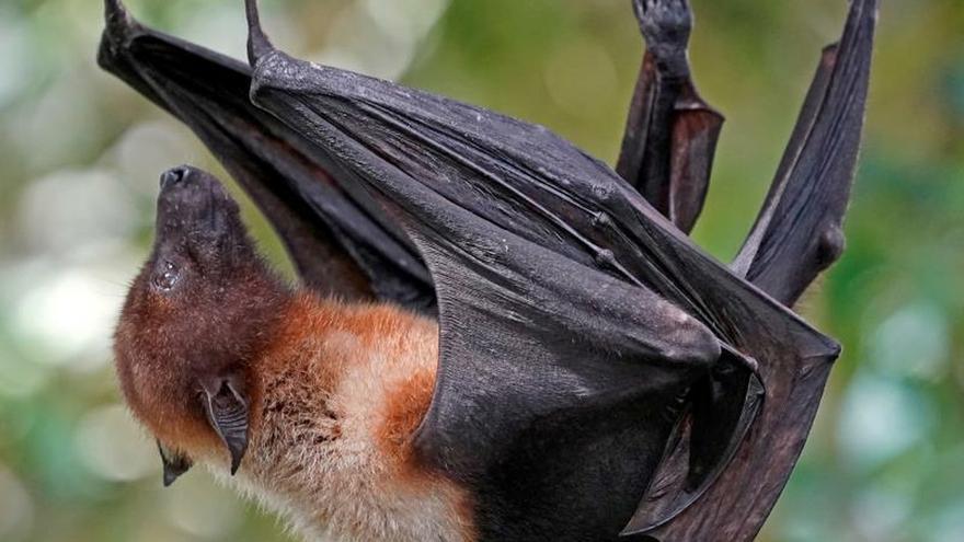 ¿Por qué los murciélagos transmiten coronavirus pero ellos no enferman?