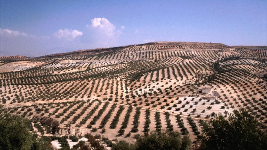 El Gobierno destaca las grandes oportunidades de futuro del sector del olivar ante la demanda global de alimentos