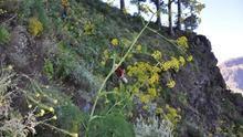 En la imagen, en primer término, en una ladera del Parque Nacional, un ejemplar de Ferula linkii, una de las nueve plantas con la que se experimentará en el sotobosque de La Caldera de Taburiente. (Foto: ÁNGEL PALOMARES)