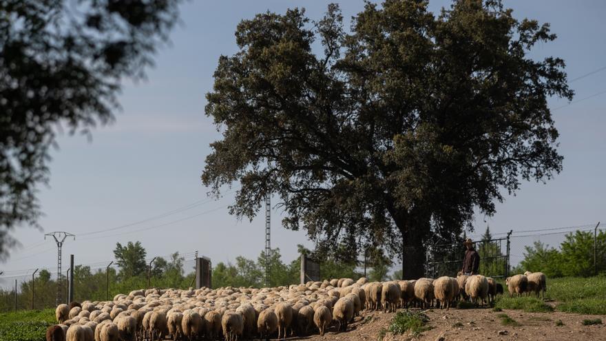 Los primeros corderos merinos australianos nacidos en España son extremeños