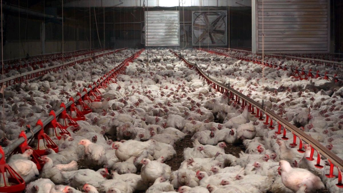 Imagen de archivo de una granja de pollos