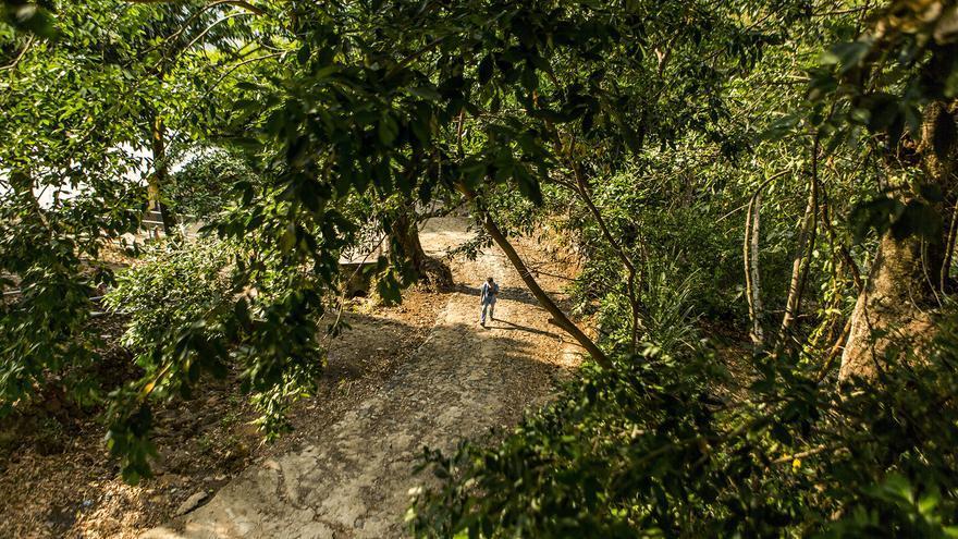 Un vecino de Carasque camina bajo los frondosos árboles de pepeto mientra se dirige a su casa