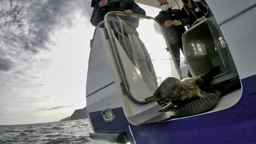 Momento de la puesta en libertad de la foca gris