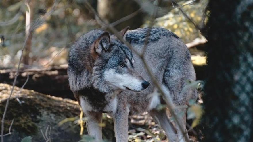 """La UAGA censura a Medio ambiente que incluya al lobo en el catálogo de especies amenazadas """"de forma unilateral"""""""