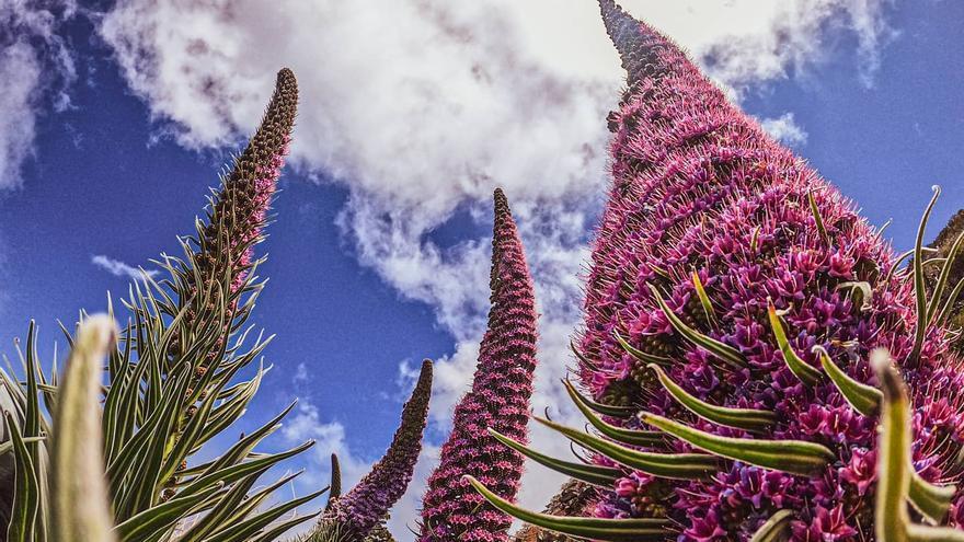 Tajinastes en flor en la cumbre de La Palma.