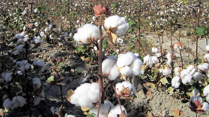 Imagen de un campo de algodón uzbeko. Esta industria genera al país 875.000 millones de euros anuales. / David Stanley (Creative Commons)