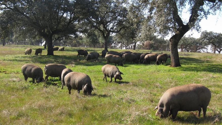 Dehesa cerdos montanera