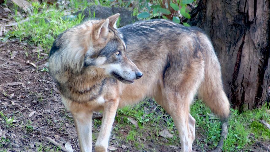 Ejemplar de lobo