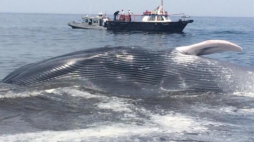 Rescatan una ballena de veinte metros varada en una playa chilena