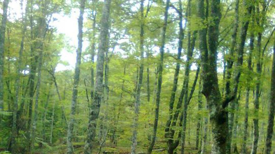 Conservacionistas denuncian la tala de hayas en el monte Saja y Bárcena Mayor